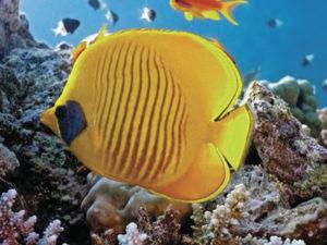 ryba-babochka
