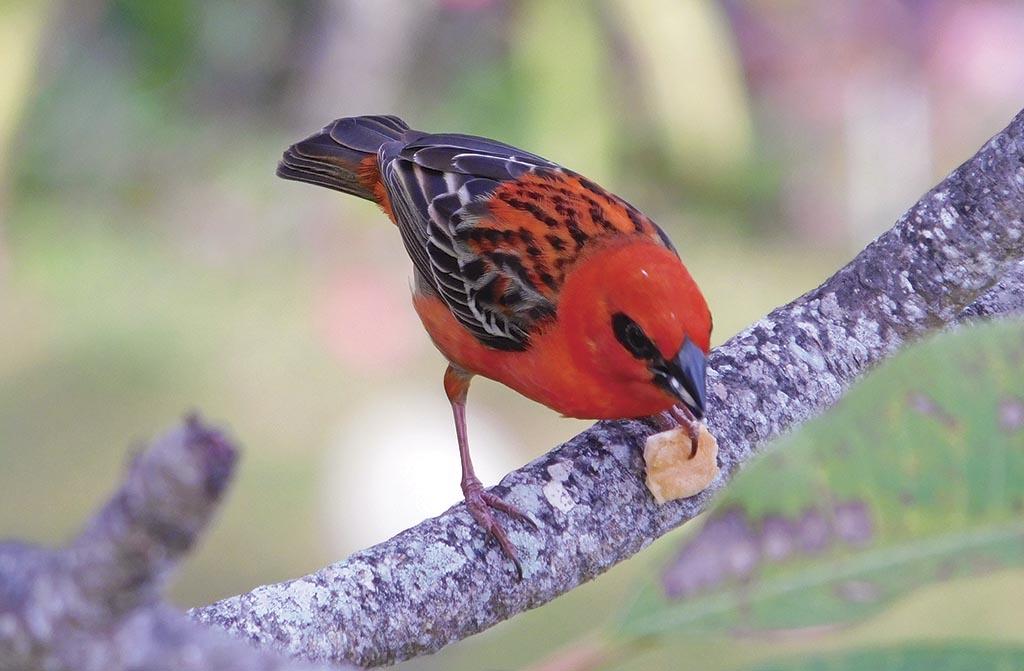 Пташка червоний фуді живе на Сейшелах і на Мадагаскарі. Оця особина щоранку прилітала до нас на терасу і вимагала сніданку